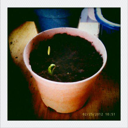 Gardening Tips for The Bitter Inexperienced Gardner - image of sprout in plant pot